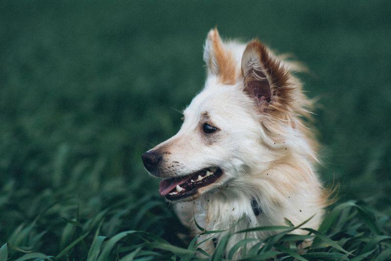 White little dog in field