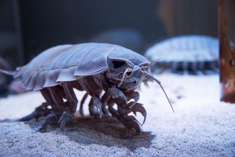 Terrifying Sea Beast: Bathynomus giganteus or Giant isopod