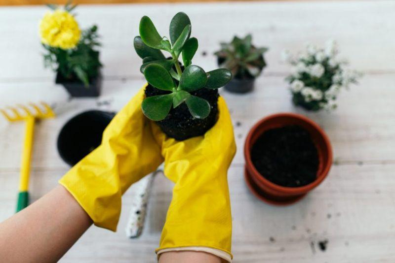 repotting jade plant