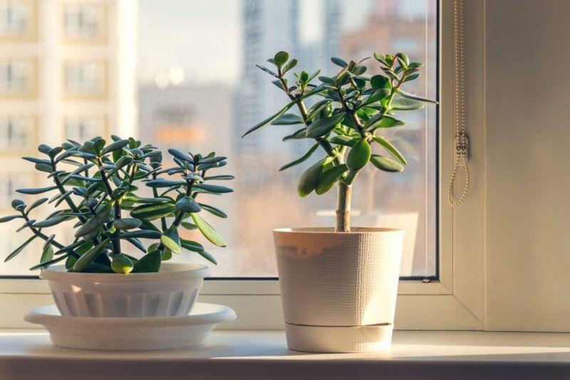 sunlight jade plant window south