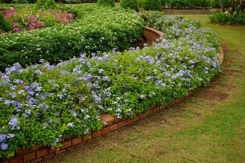 periwinkle in garden