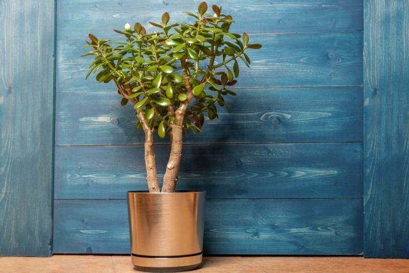 temperature tropical jade plant frost