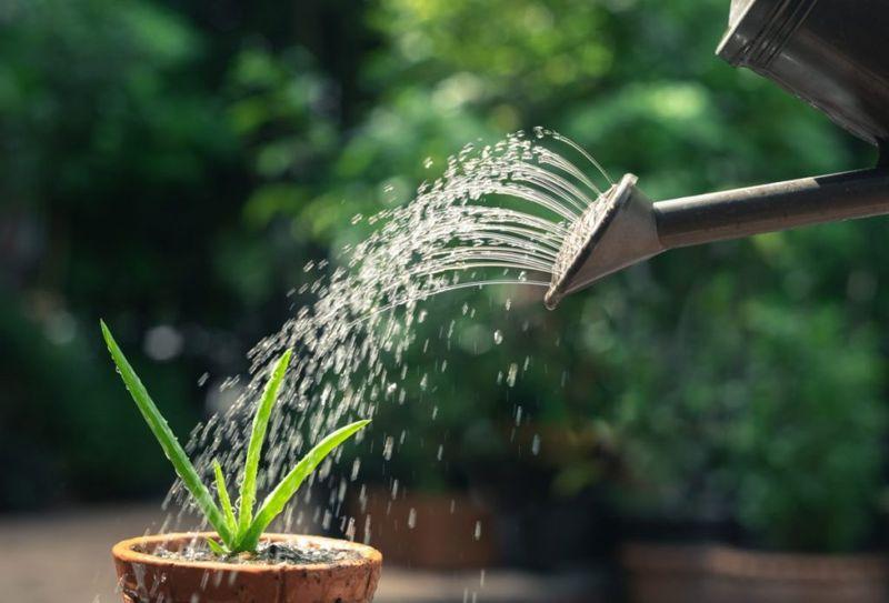 watering aloe vera