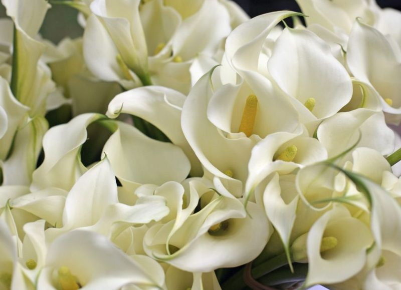 Calla-lily south-africa