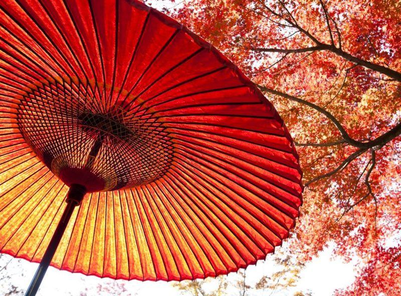 Striking Japanese maple.