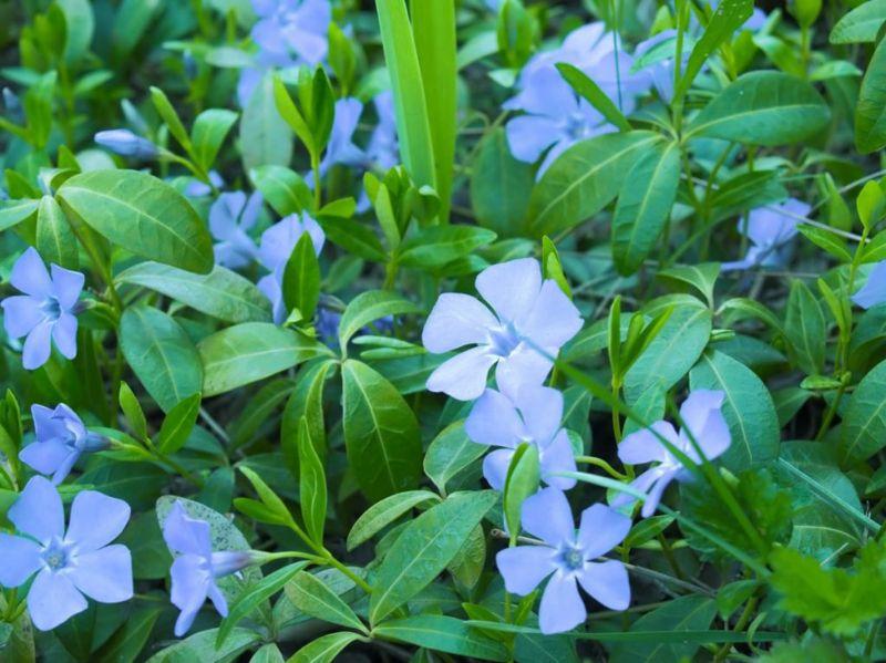 purple periwinkles