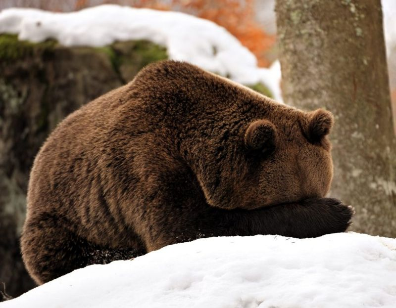 hibernation, bears, antifreeze, protein, squirrel