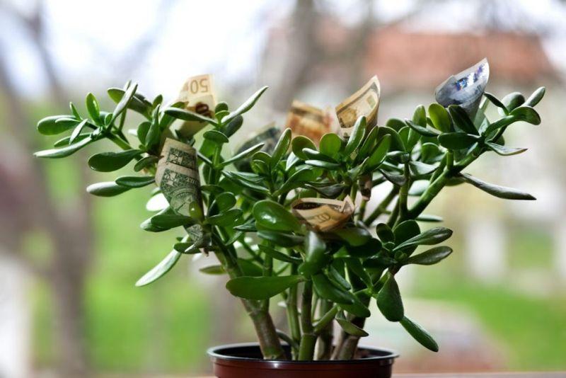 jade plants money luck space