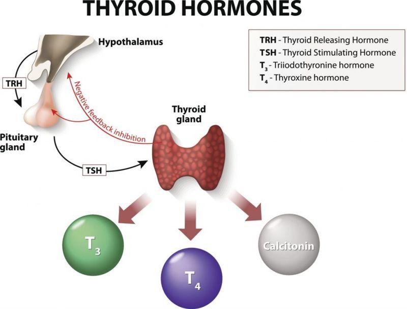 Thyroid-hormone hormone-regulation