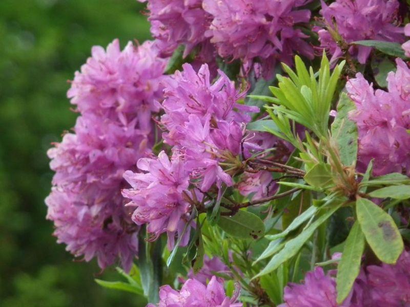 Irish rhododendrons.