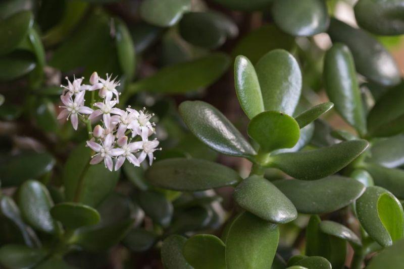 fertilizing succulent jade plant
