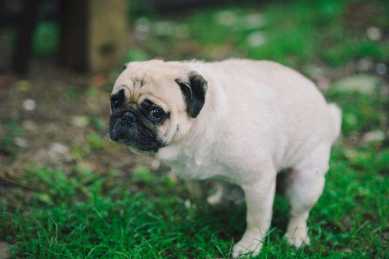 dog constipation poop