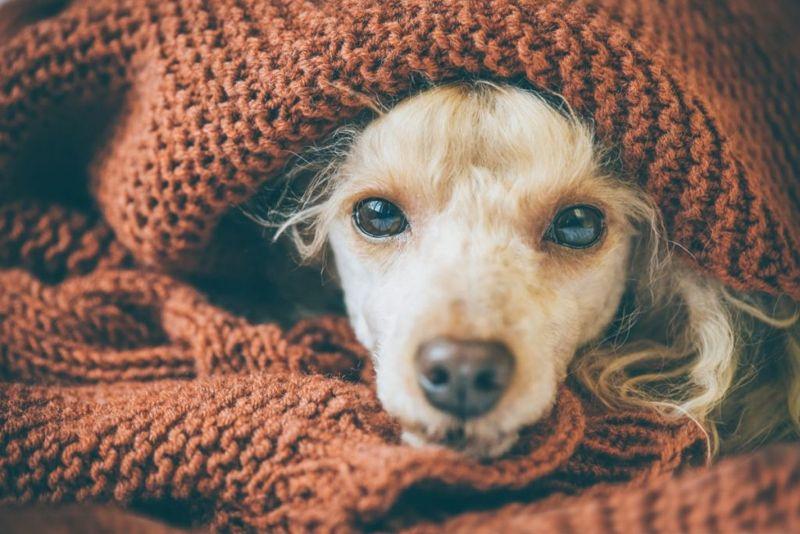 dog infection lethargy