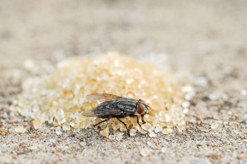 pest control borax sugar mice