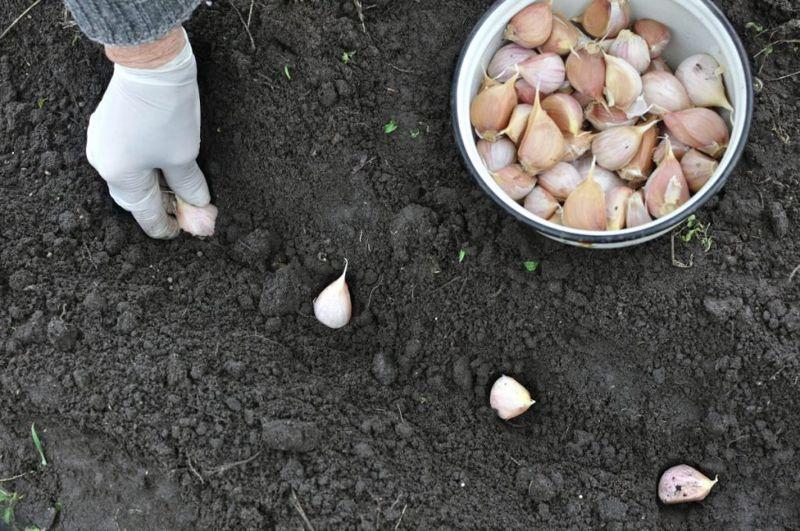 planting garlic crop