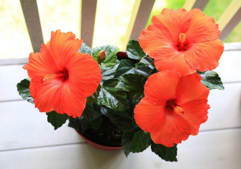 growing hibiscus planter