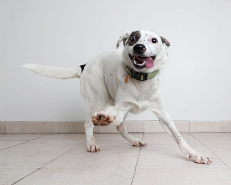 Energetic Hound, Australian Cattle Dog mixed breed dog hoping to be adopted