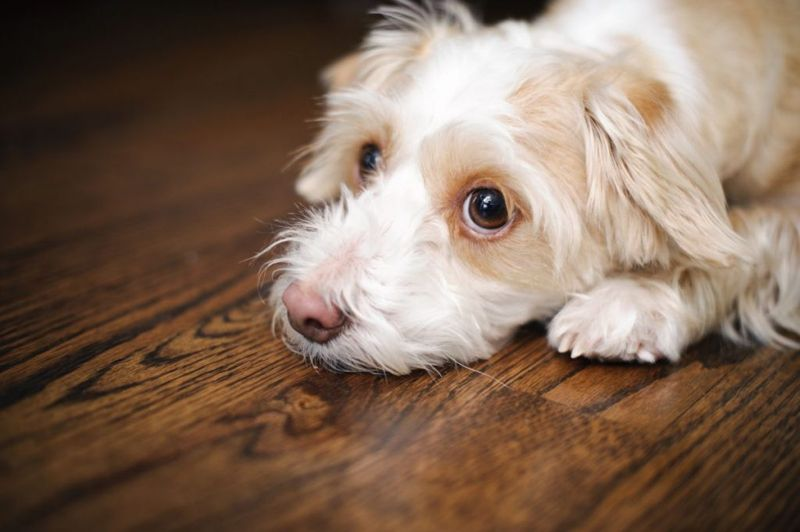 Sad looking dog on carpet. Mixed breed of half Chihuahua and half toy Poodle.