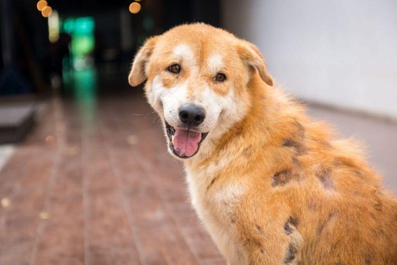 Stray dog skin disease. Leprous dog.