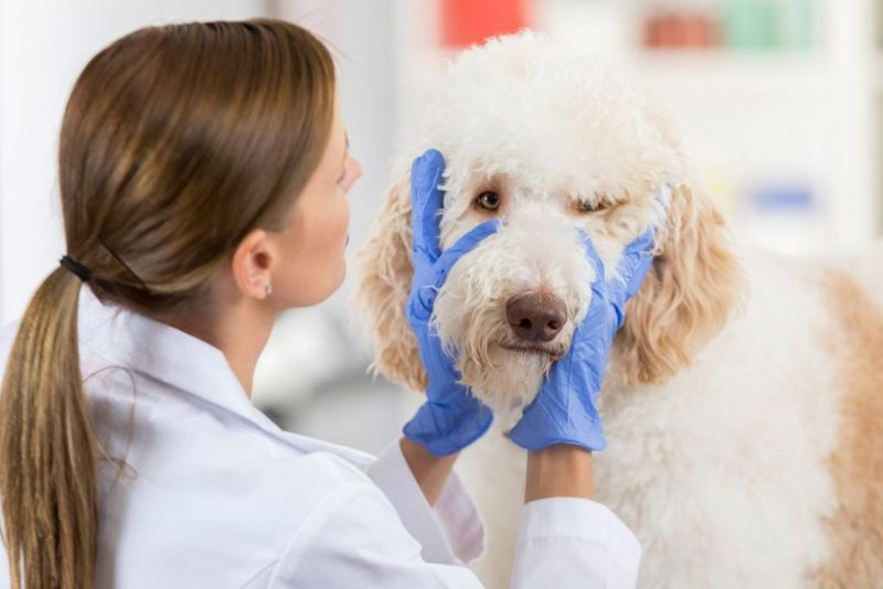 Female vet examines a large dog's eyes during a medical exam she is wearing protective gloves.