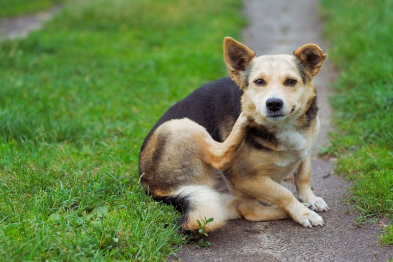 dog sitting on footpath, scratching, looking at camera. shallow dof