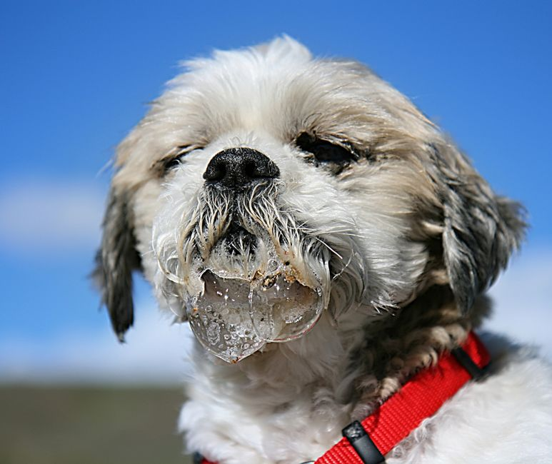 a shih tzu drooling all over his mouth