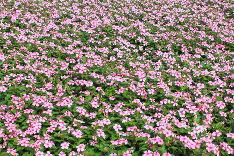 Madagascar periwinkle, Vinca,Rose periwinkle flower field close up pattern in vivid pink color with green leaf background