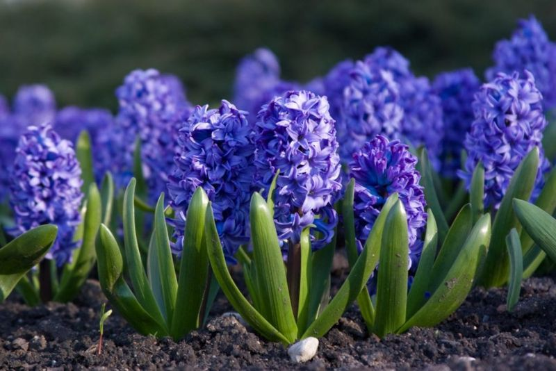 Blooming Hyacinth in the ground