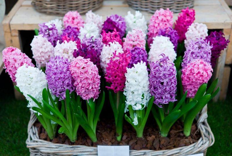 Hyacinth rainbow of colors