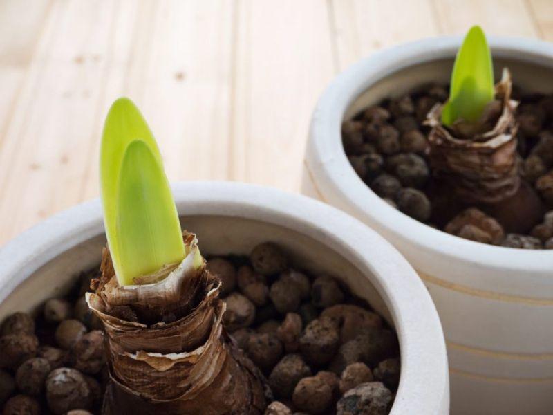 Amaryllis green shoots