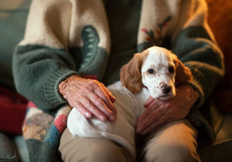 King charles spaniel therapy dog