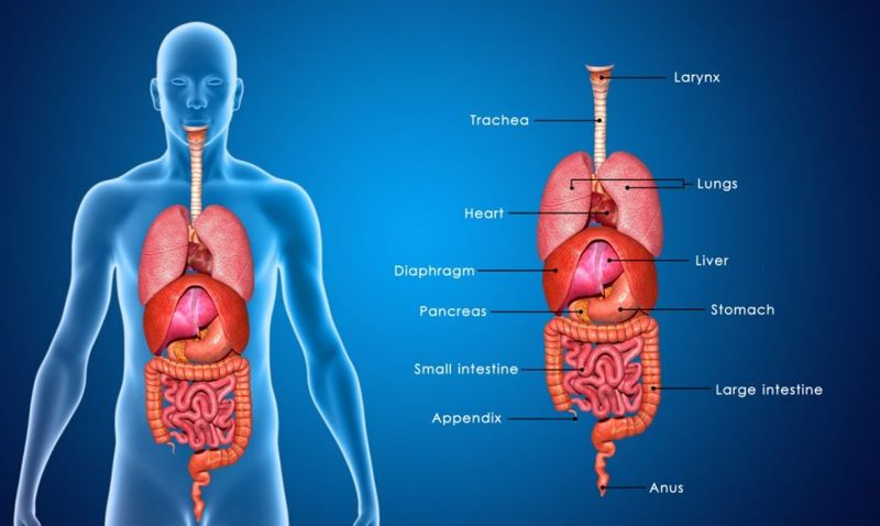 Internal Organs Endocrine