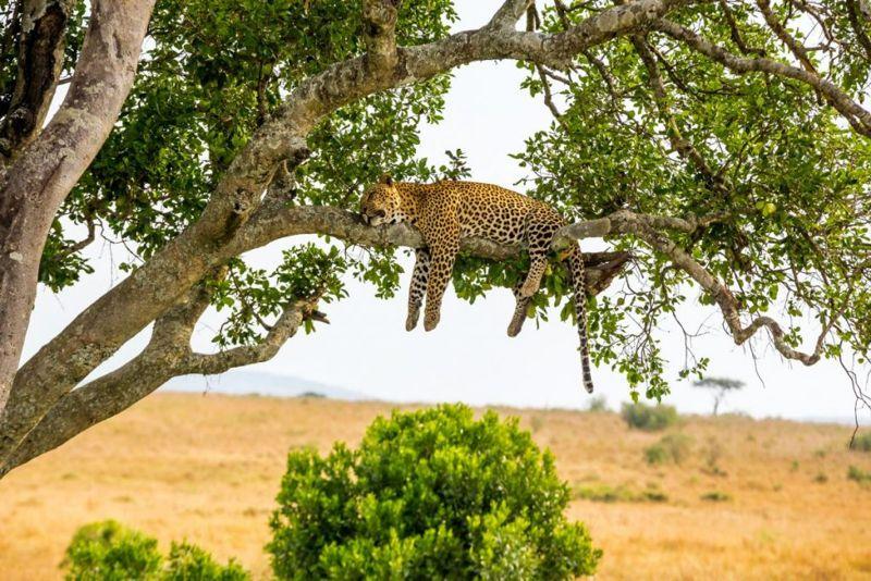 leopard high metabolism appetite