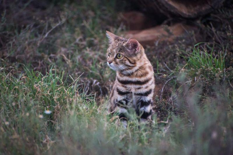 smallest wildcat black footed cat