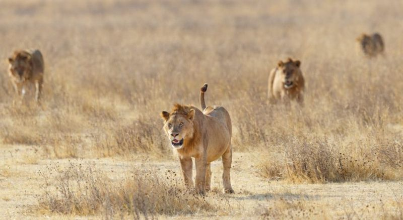 highest kill rate lion