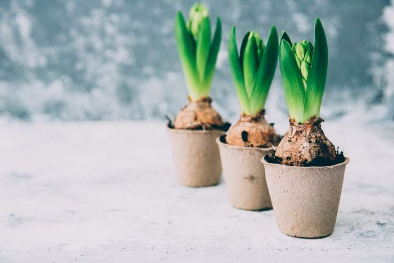 Plant bulbs in containers