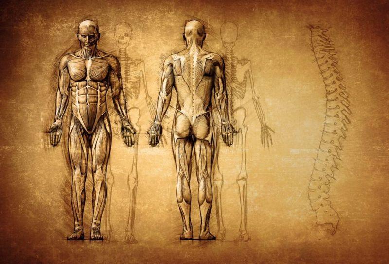 Human Anatomy Vestigial Organs