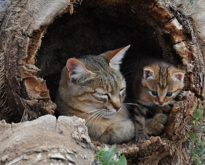 locusts rodents black-footed cat