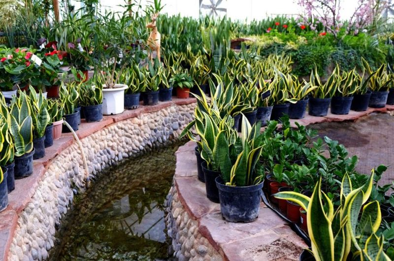 snake plants temperature frost