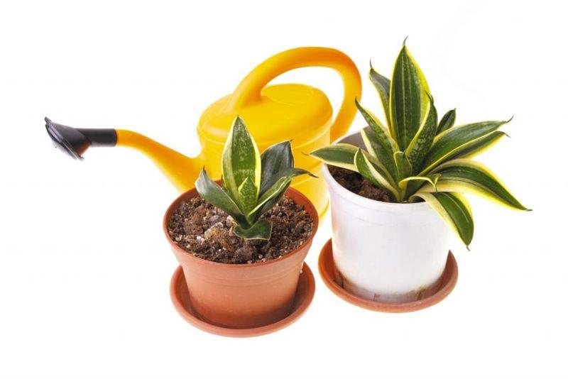 watering snake plant
