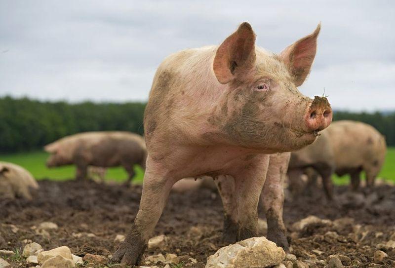 Pig Farm Sanitary