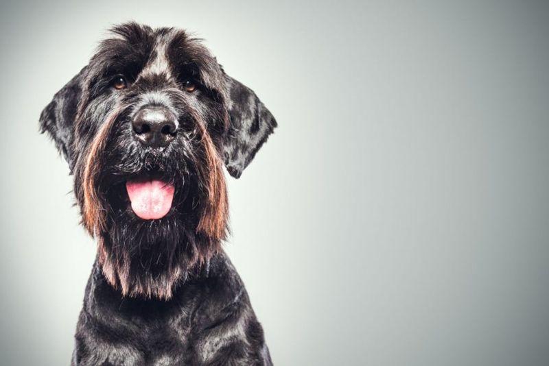 A profile portrait of a large purebred giant Schnauzer