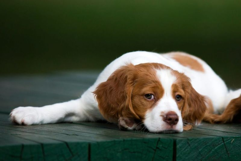 A Brittany Spaniel Puppy laying on a dark green wooden deck with eyes open looking towards the camera with a soft focus background.