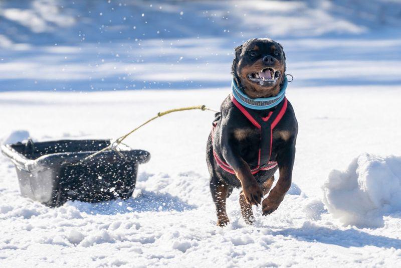 German Rottweiler dog fun running on the snow drifts.