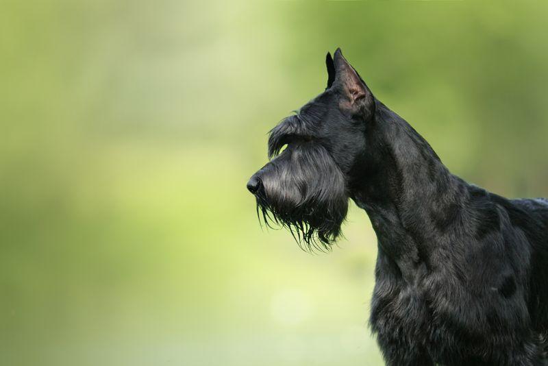 Dog Giant Schnauzer, pet walking in a summer park