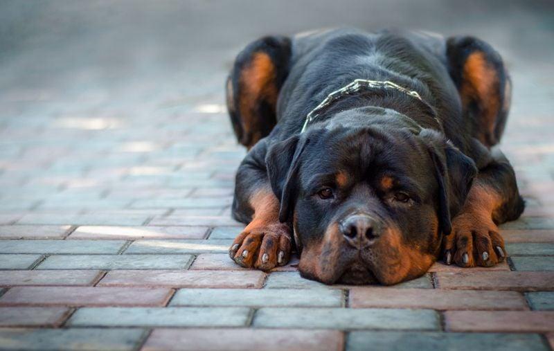 sad dog breed Rottweiler lies