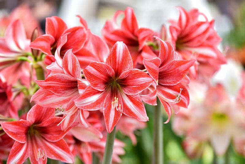 Beautiful red white hippeastrum, amaryllis flowers in the garden