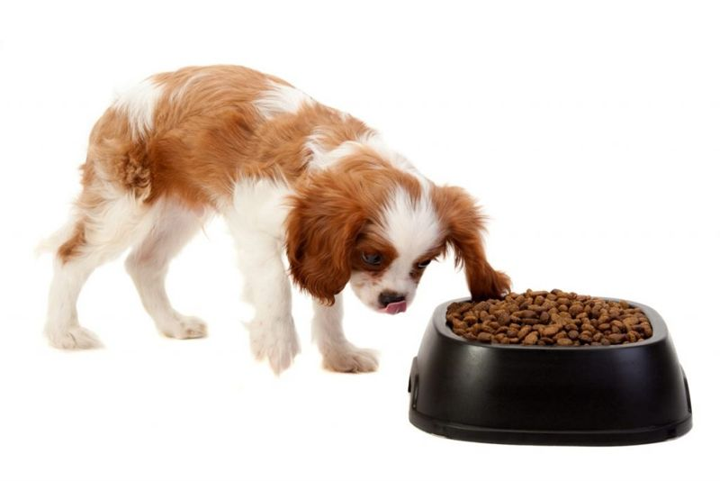 King charles spaniel eating food