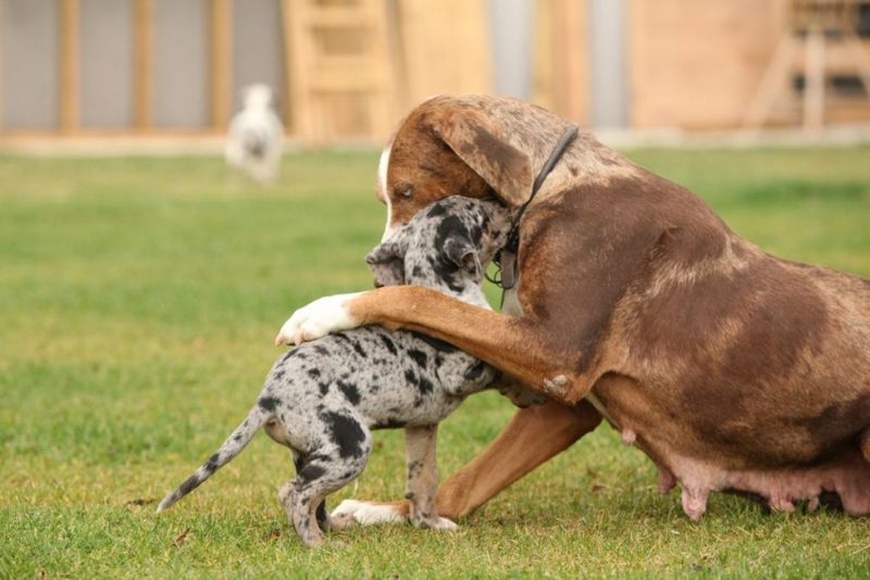 catahoulas and other pets