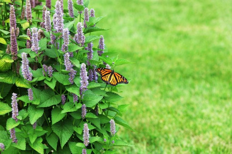 appearance of hyssop